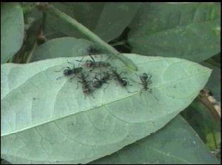 ホソヘリカメムシ幼虫